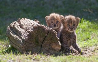 Bébés guepards Safari Peaugres