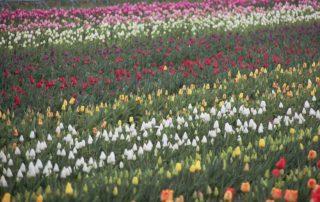 Opération 100000 Tulipes contre le cancer
